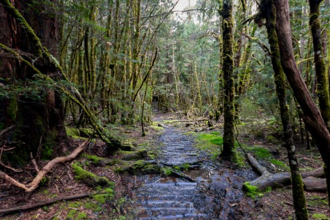 forest-track-overland-track