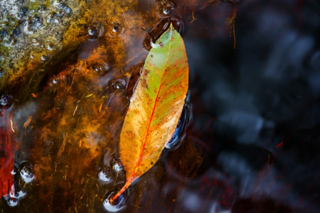eucalypt-leaf-in-water