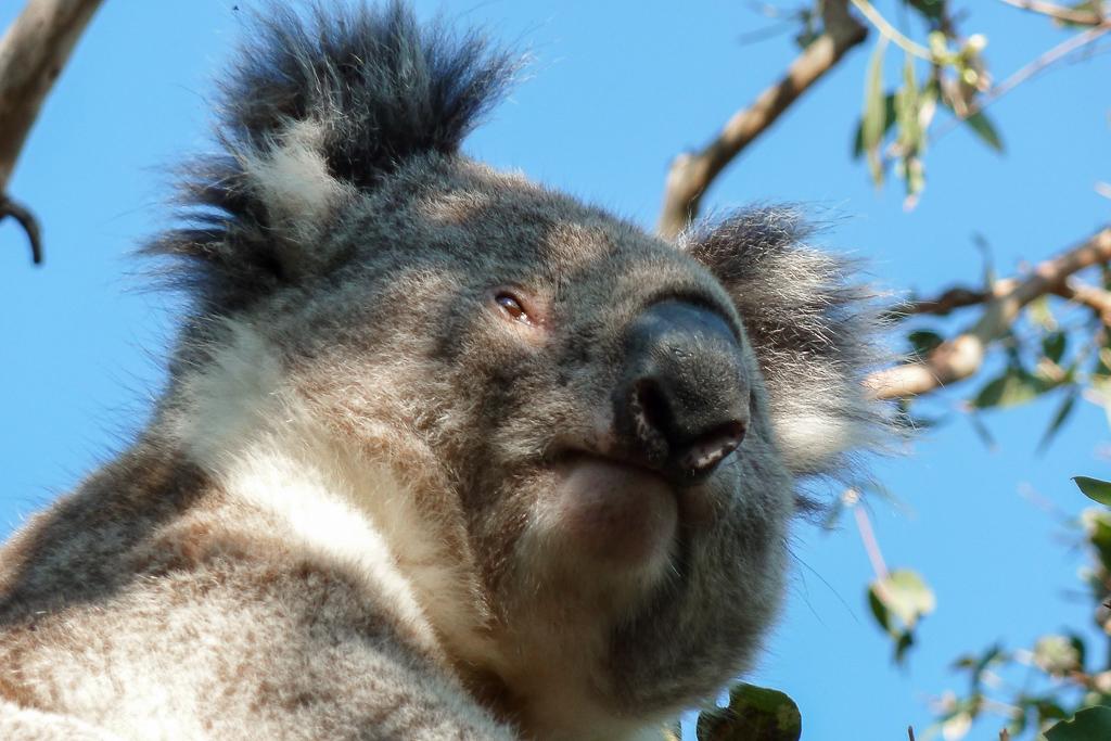 koala-great-otway-national-park