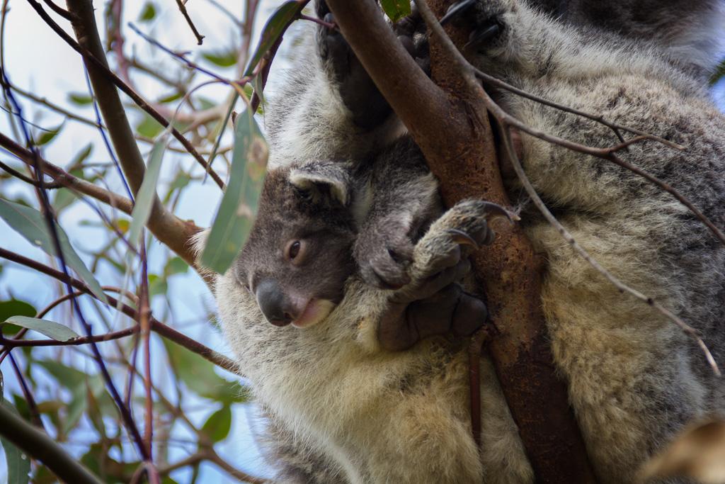 koala-joey-cape-otway