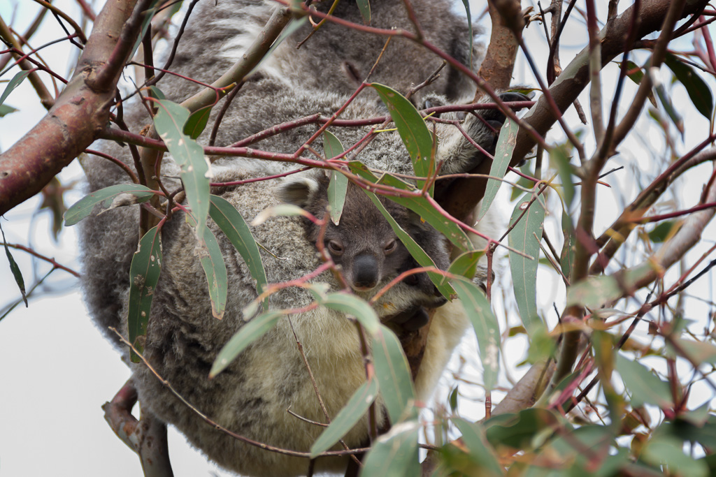 koala-joey-in-tree-cape-otway