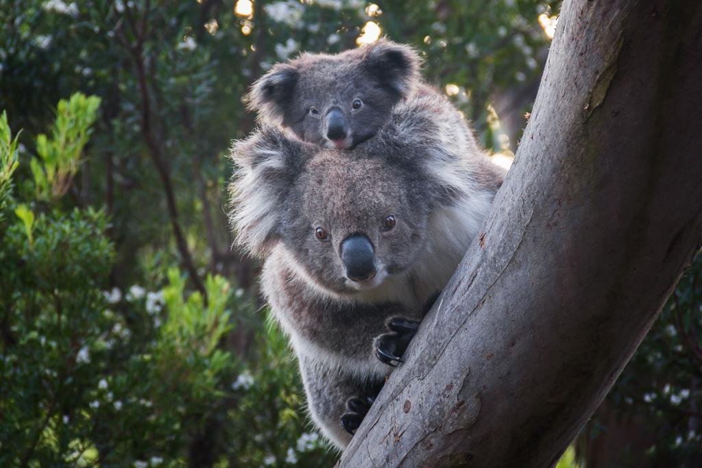 koala-joey-tree-cape-otway