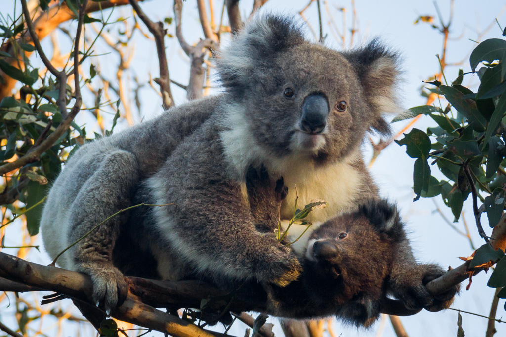 koala-joey-trees-otways