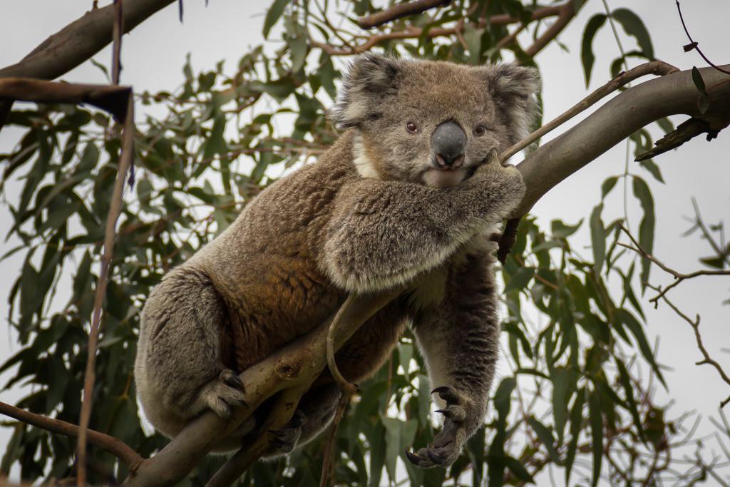 koala-tree-cape-otway