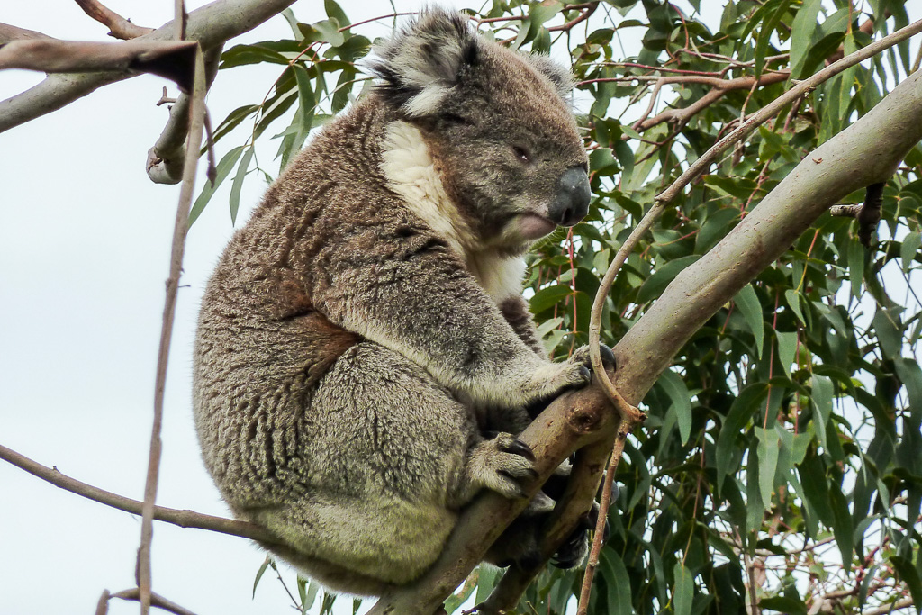koala-tree-otways