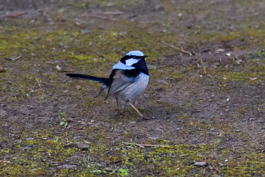 superb-blue-wren-otways