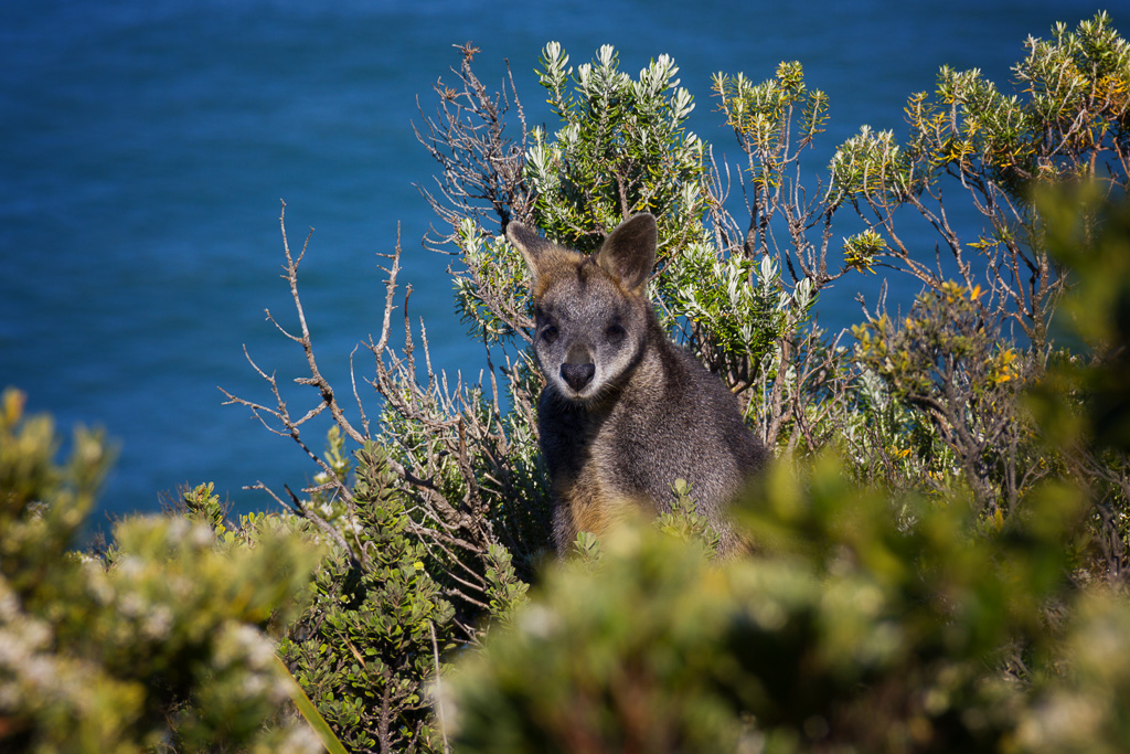 wallaby-great-otway-national-park