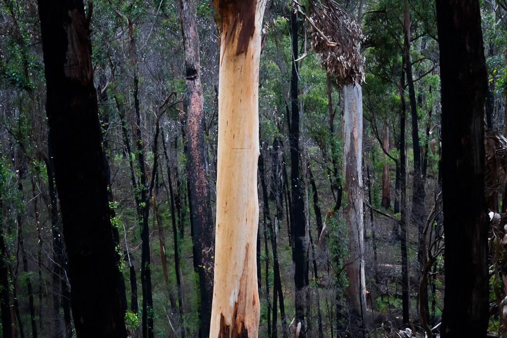 eucalypt-trees-burnt-forest-otways