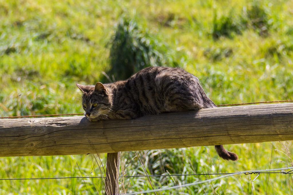 feral-cat-near-johanna-beach