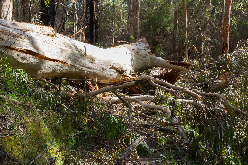 large-fallen-tree-otways