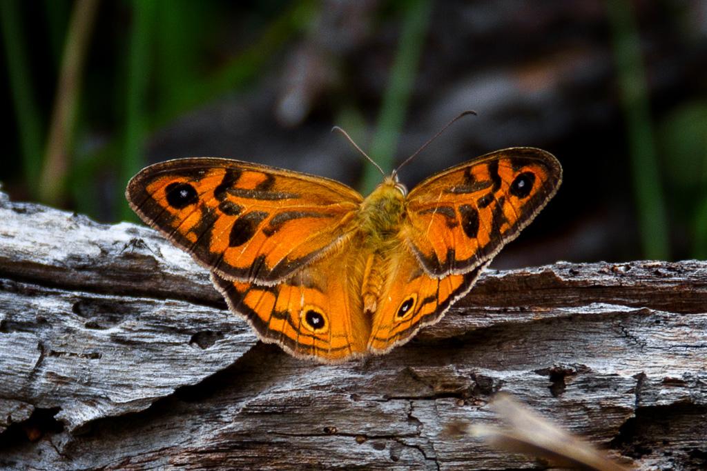 orange-butterfly-werribee-gorge