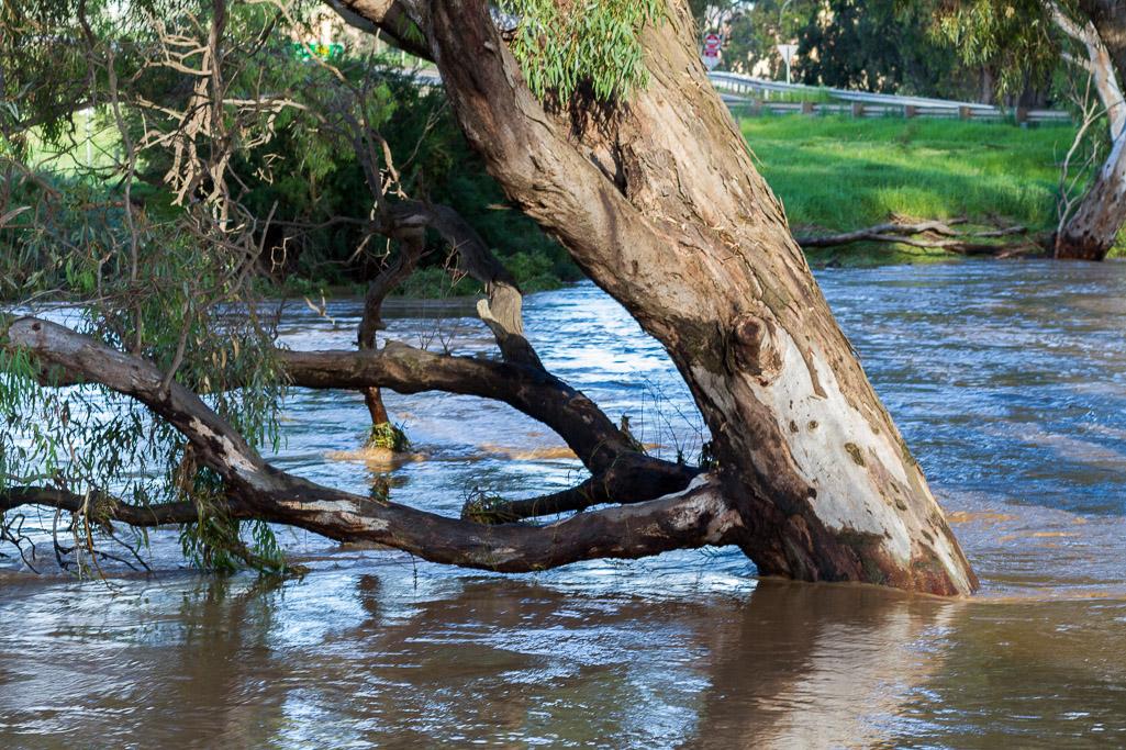 flood-trees-werribee-river