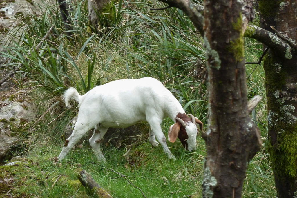 goat-at-camels-hump-mount-macedon