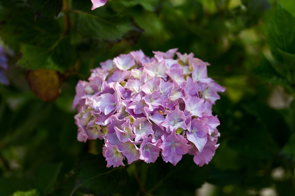 hydrangea-flower