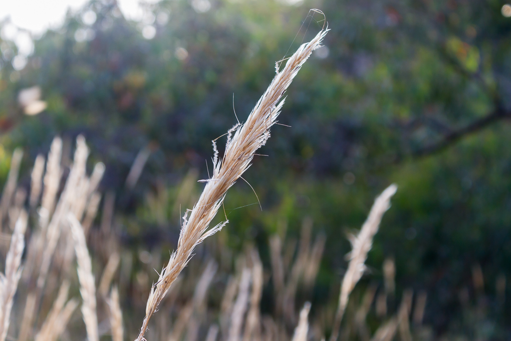 native-grass-werribee-gorge