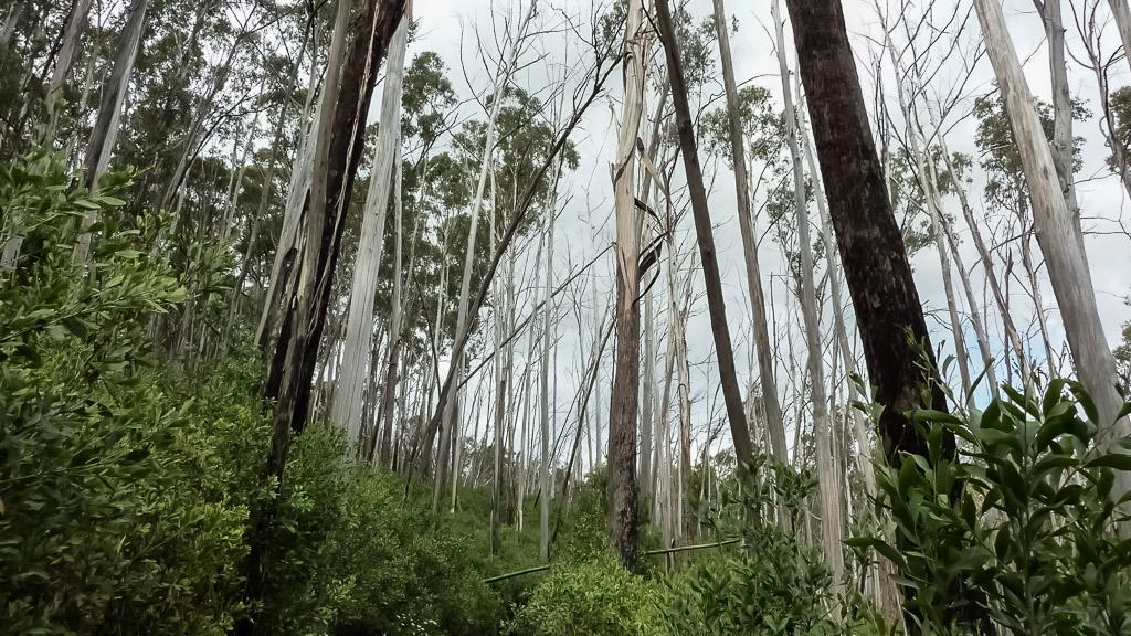 trees-bungalow-spur-victoria