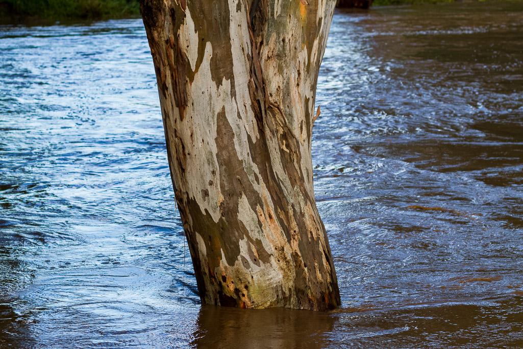 water-gum-tree-flood-werribee-river