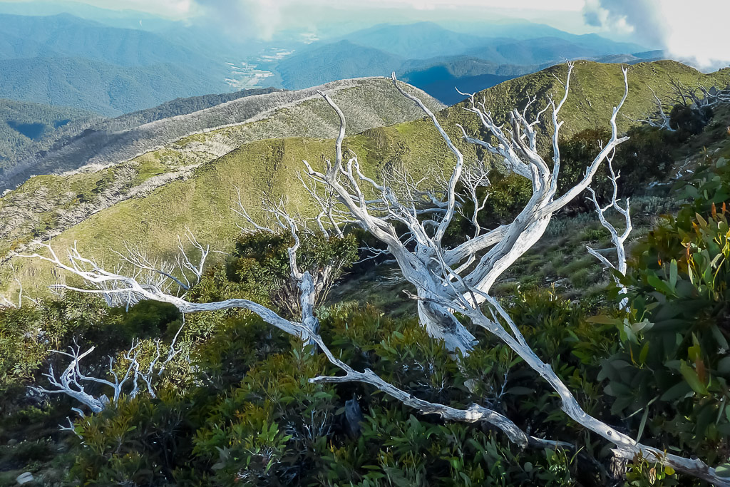 white-branch-tree-mount-feathertop