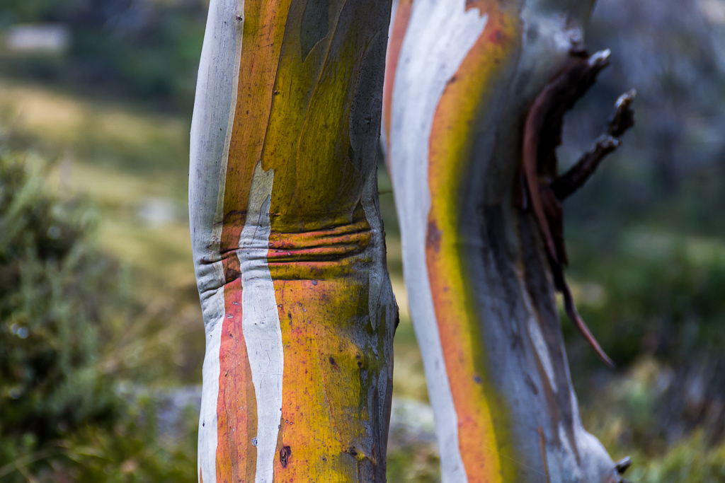 coloured-bark-gum-tree
