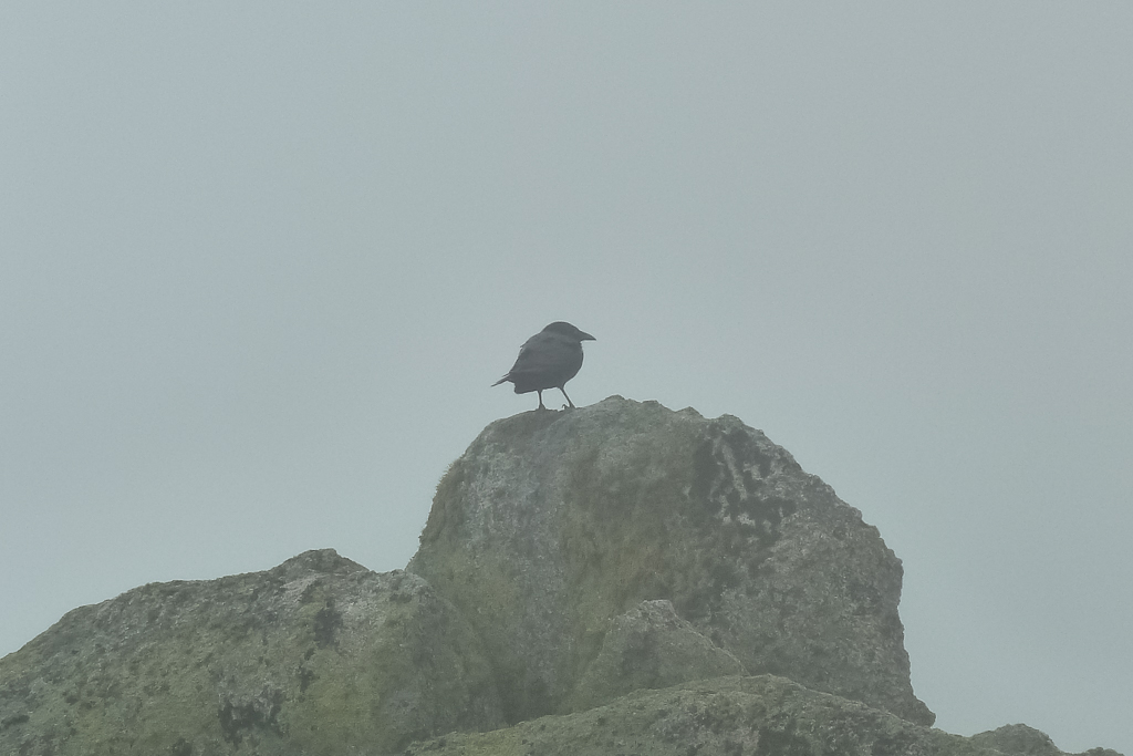 currawong-on-rock-snowy-mountains