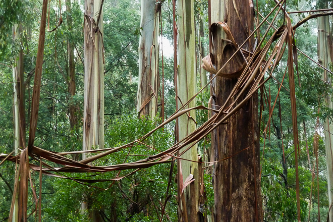 draped-eucalypt-bark-dandenong-ranges