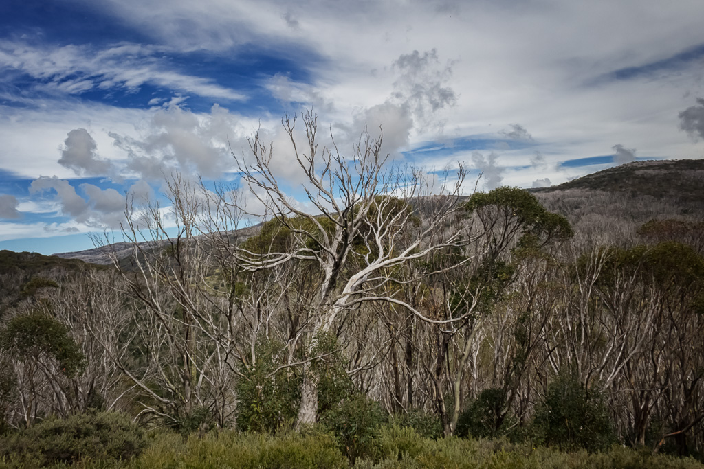 eucalypt-dead-horse-gap-track-snowy-mountains