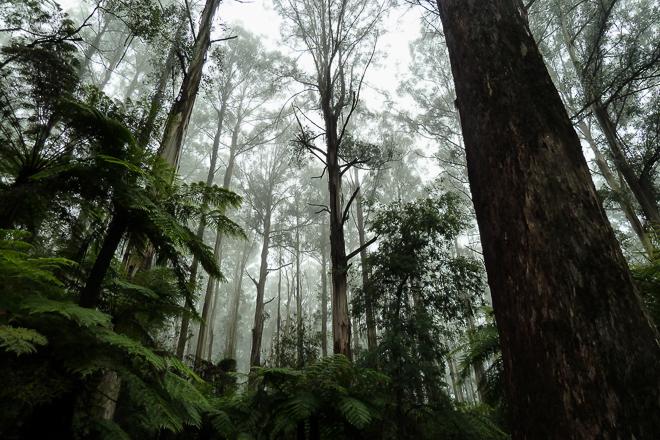 mist-dandenong-ranges-trees