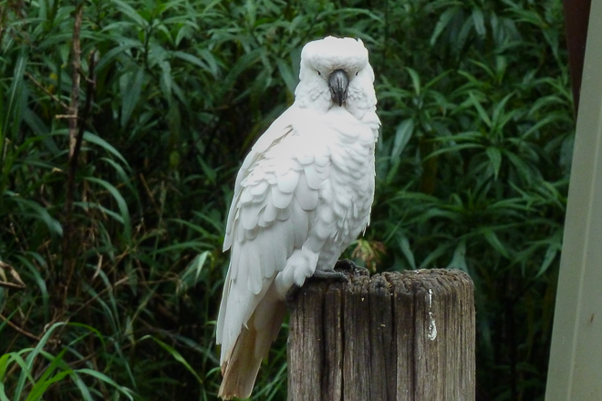 sulphur-crested-cockatoo-dandenong-ranges