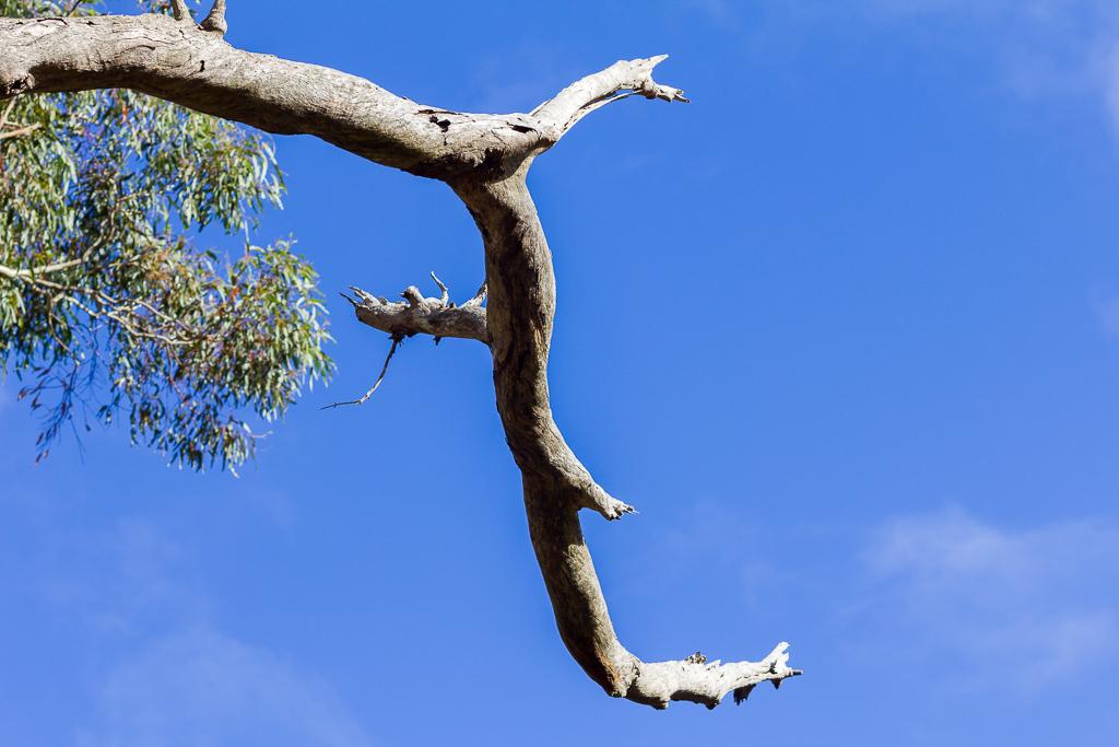 eucalypt-tree-branch-werribee-gorge