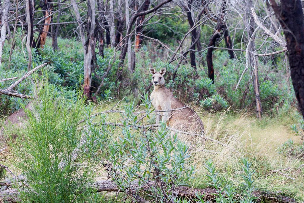 kangaroo-werribee-gorge