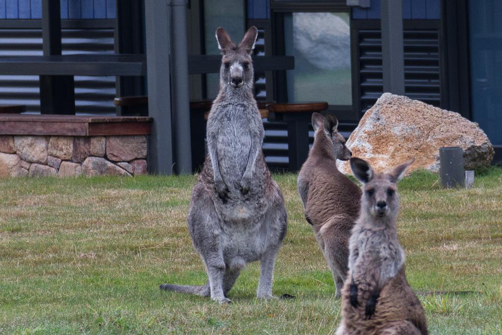 kangaroos-grass-paddock-thredbo