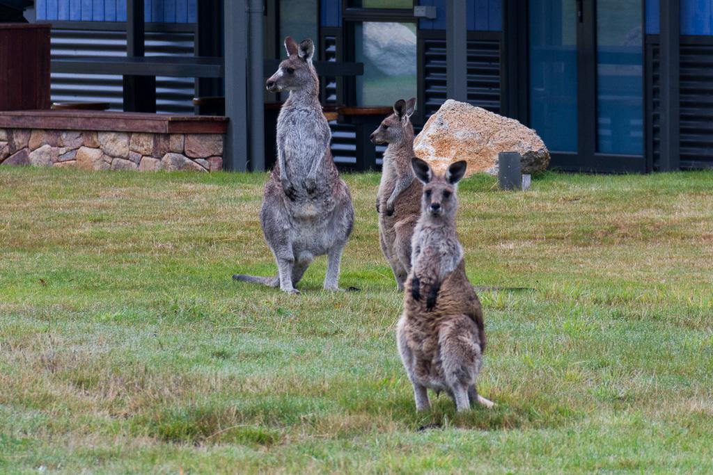 kangaroos-thredbo