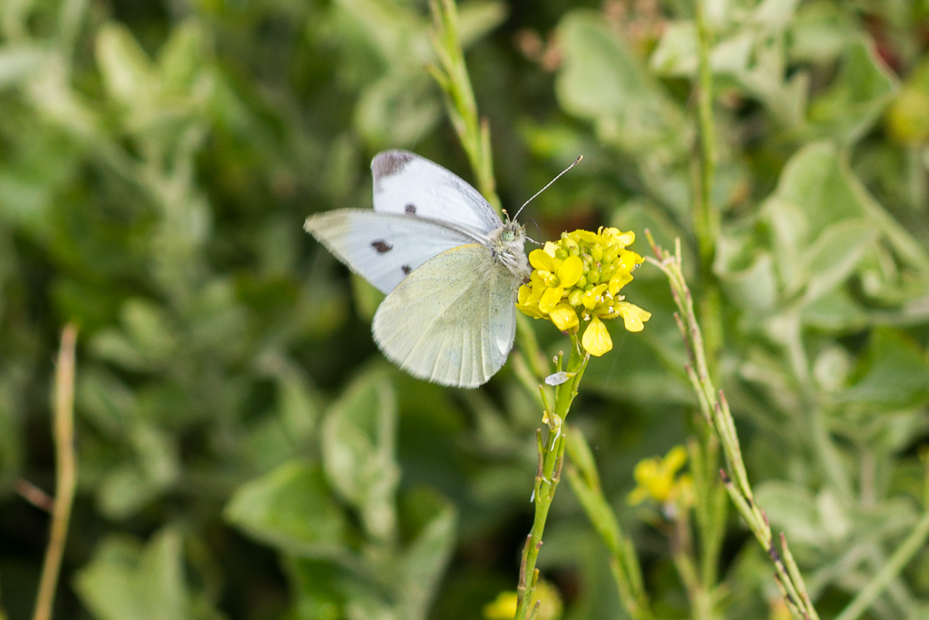 white-butterfly-plant-werribee-gorge
