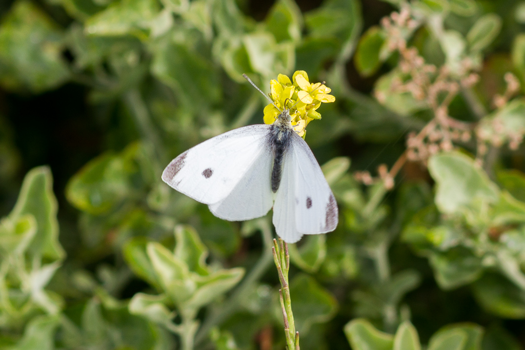 white-butterfly-werribee-gorge
