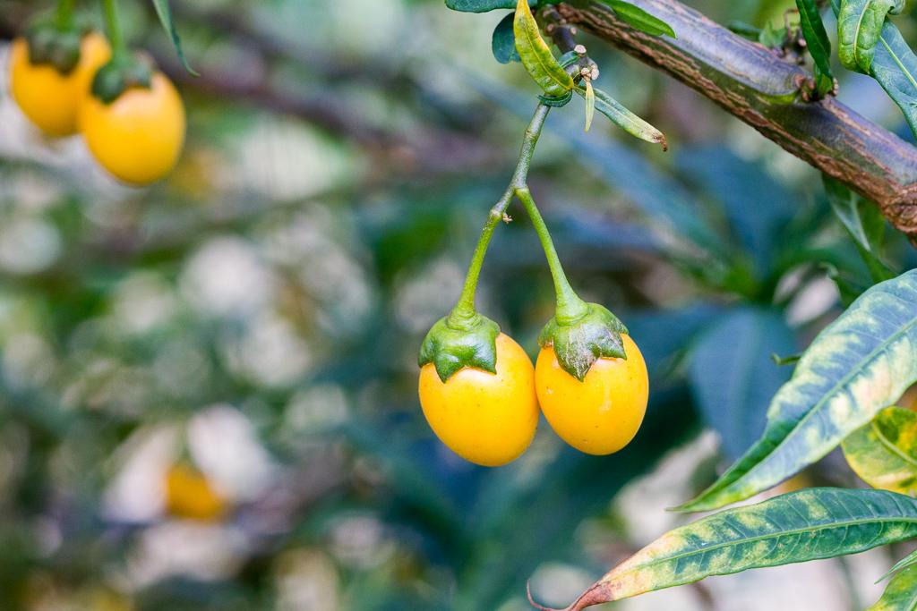 yellow-seed-pod-werribee-gorge