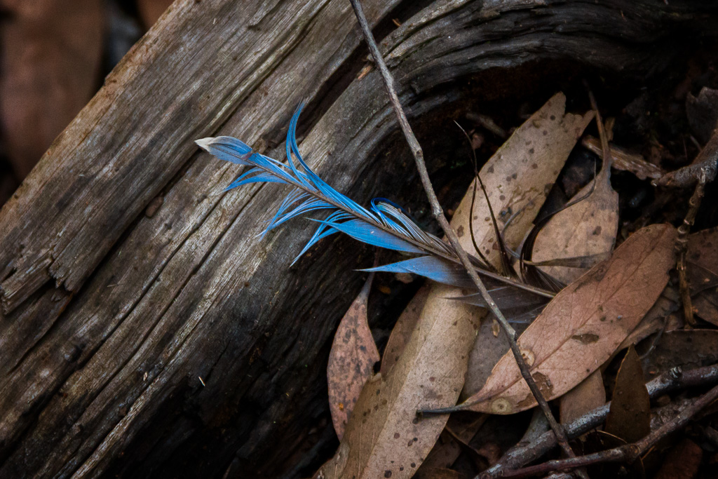 blue-feather-lying-on-ground
