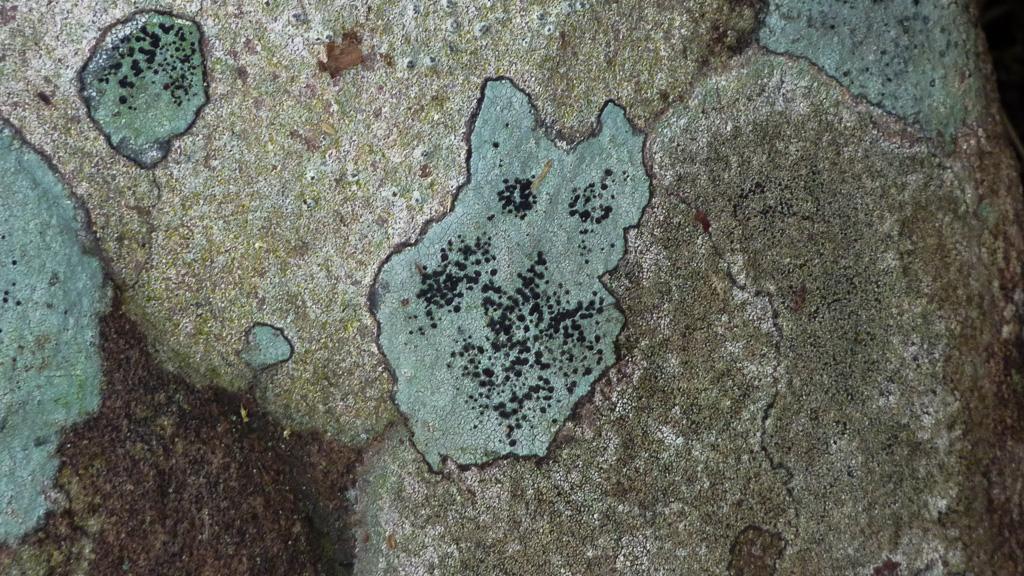 moss-that-looks-like-cat