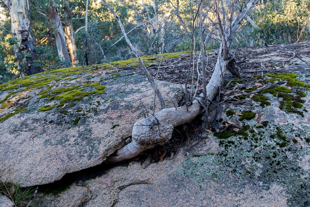 tree-growing-through-boulder