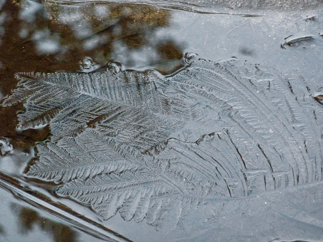 leaf-impression-ice-overland-track