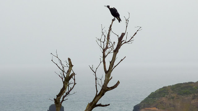 magpie-near-cape-schanck