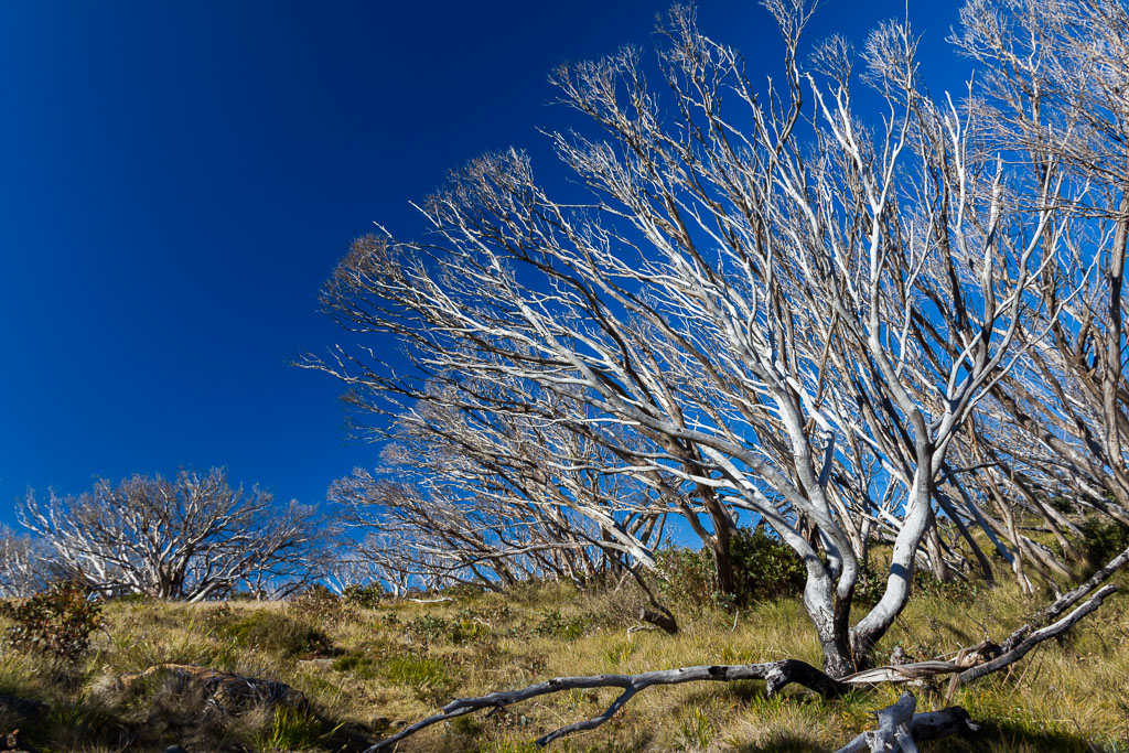 snow-gums-moroka-gap-walking-track-alpine-region