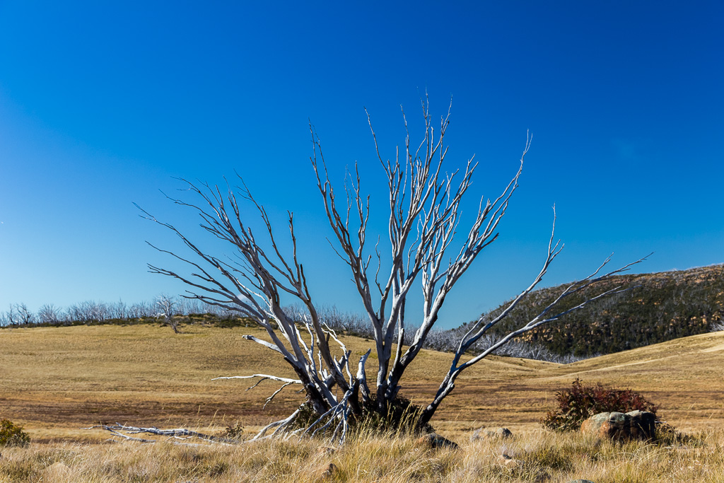 tree-wellington-plain-alpine