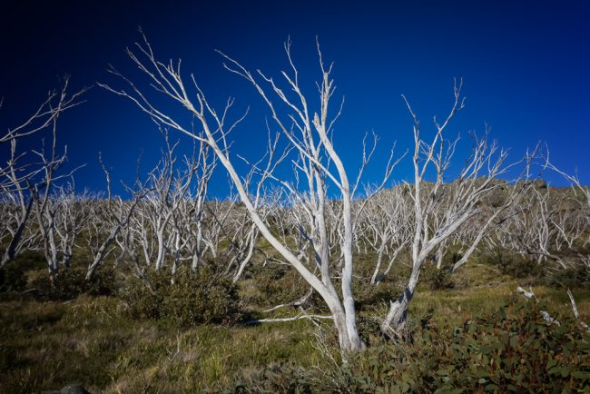white-tree-trunks-mount-wellington-track-victoria-alpine