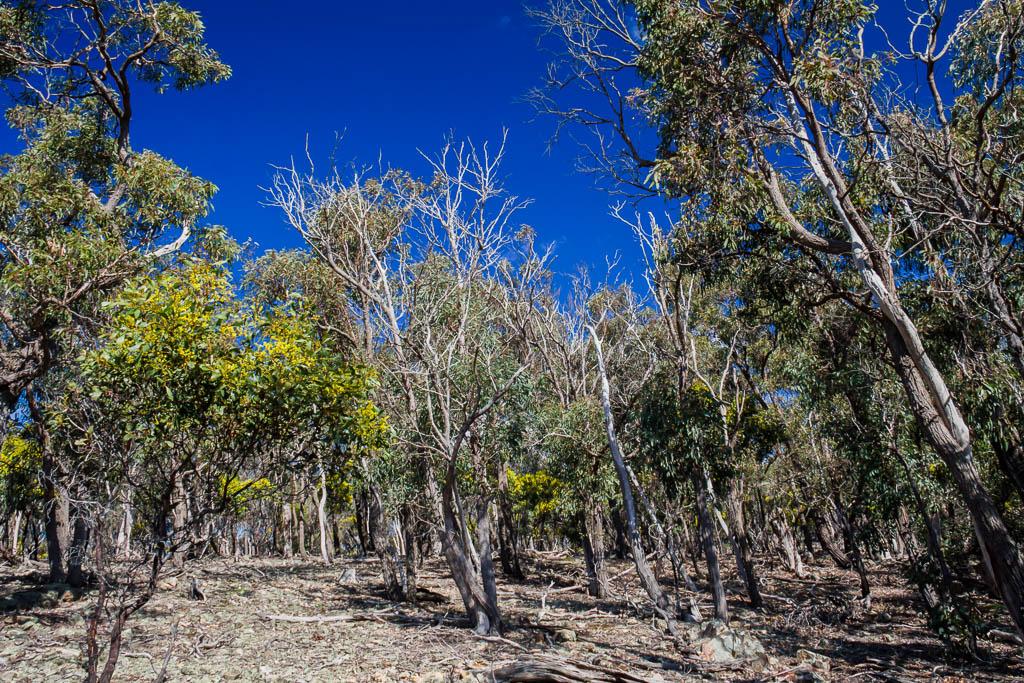 blue-sky-eucalypt-trees