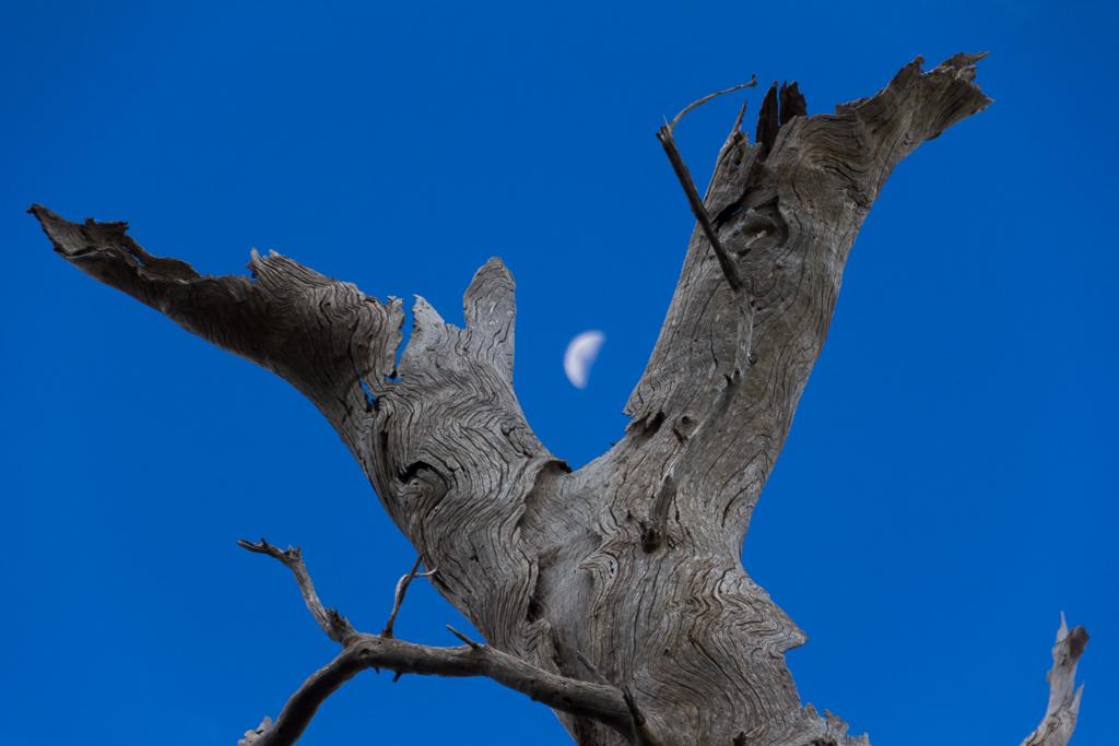 dead-tree-branch-moon-werribee-gorge