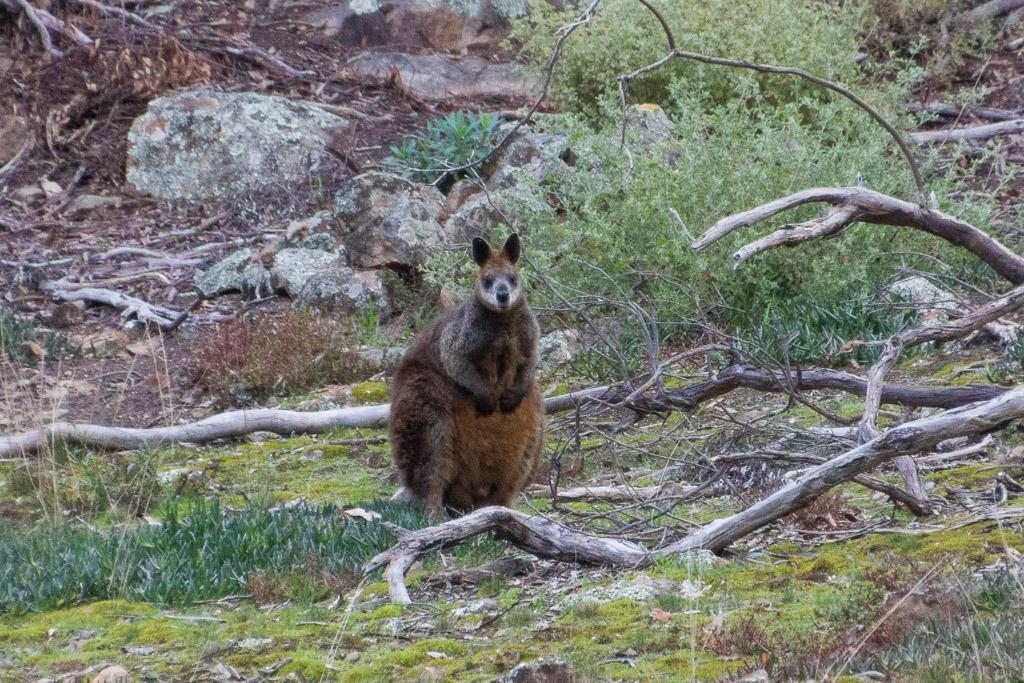 wallaby-werribee-gorge