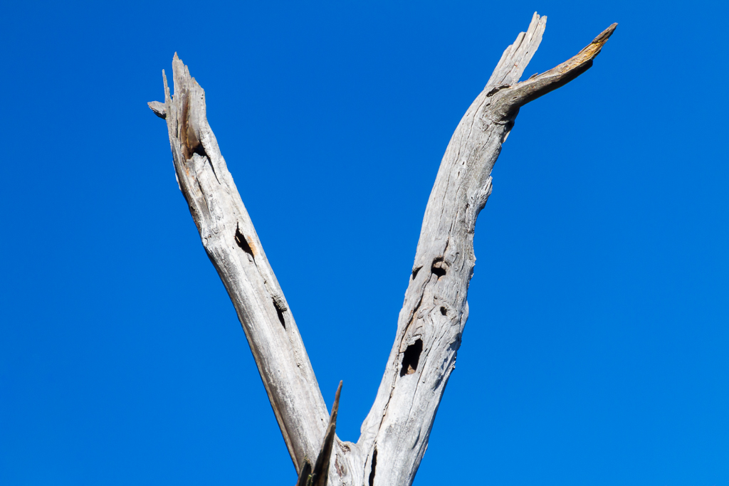 bare-eucalypt-tree-branches