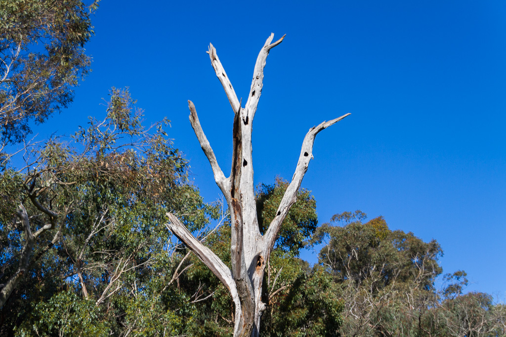 bare-eucalypt-tree-trunk