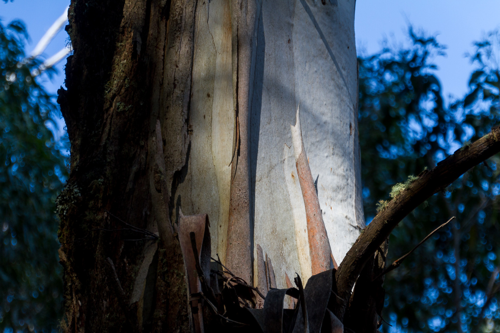 bark-on-eucalypt-tree