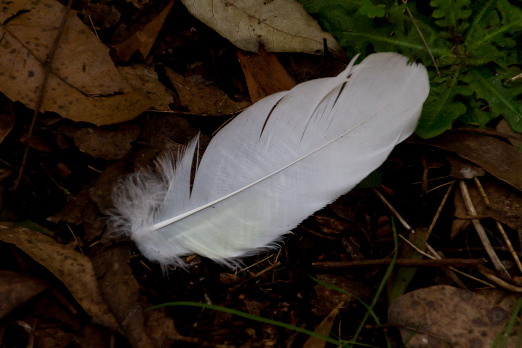 cockatoo-feather-on-ground